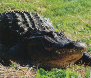 An adult American alligator.