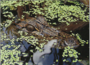 A juvenile American alligator hiding among duckweed.