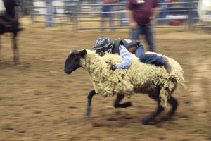 Mutton Bustin' is a crowd favorite among the rodeo's many events. Photo by Bill Robertson – Magana Media.